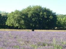 boom lavendel